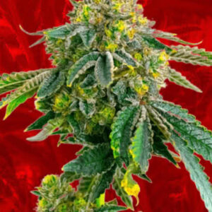 Afghan Feminized Seeds for sale from Crop King