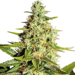 Afghan Feminized Seeds for sale from IGLM