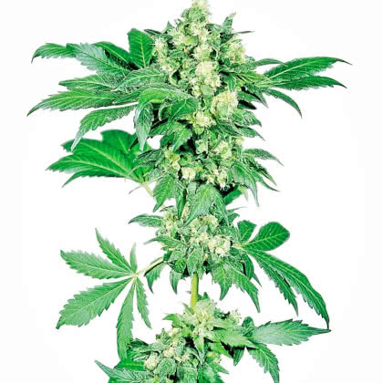 Afghan Feminized Seeds for sale from Seedsman by Sensi Seeds