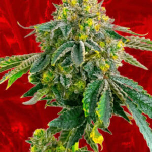 AK-47 Feminized Seeds for sale from Crop King