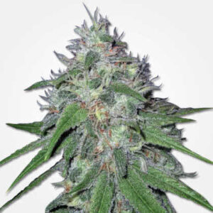 Amnesia Haze Feminized Seeds for sale from MSNL