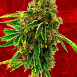 Banana Kush Feminized Seeds for sale from Crop King