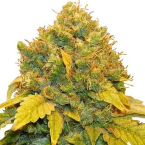 Banana Kush Feminized Seeds for sale from IGLM
