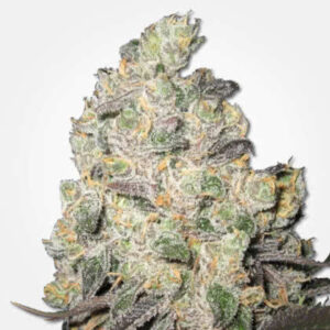 Big Blue Cheese Feminized Seeds for sale from MSNL