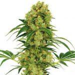 Big Bud Feminized Seeds for sale USA