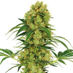 Big Bud Feminized Seeds for sale from IGLM