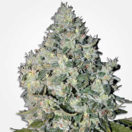 Big Bud Feminized Seeds for sale from MSNL