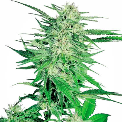 Big Bud Feminized Seeds for sale from Seedsman by Sensi Seeds