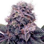 Blackberry Kush Feminized Seeds for sale USA