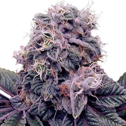 Blackberry Kush Feminized Seeds for sale from IGLM