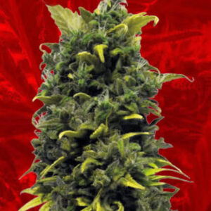 Blue Cheese Feminized Seeds for sale from Crop King