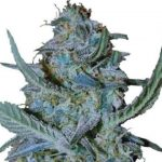 Blue Cheese Feminized Seeds for sale USA