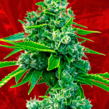 Blue Dream Feminized Seeds for sale from Crop King
