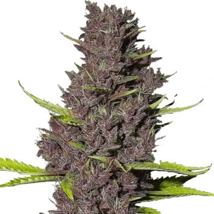 Blue Dream Feminized Seeds for sale from IGLM