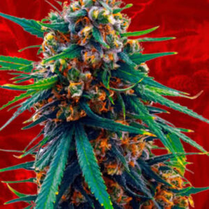 Blueberry Feminized Seeds for sale from Crop King