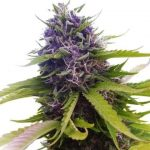 Blueberry Feminized Seeds for sale USA