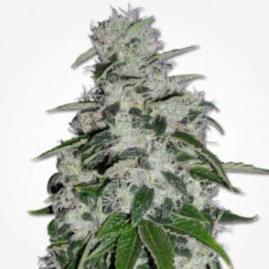 Blueberry Feminized Seeds for sale from MSNL