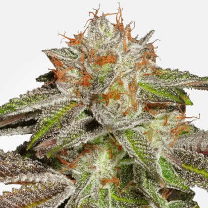 Bruce Banner #3 Feminized Seeds for sale from MSNL
