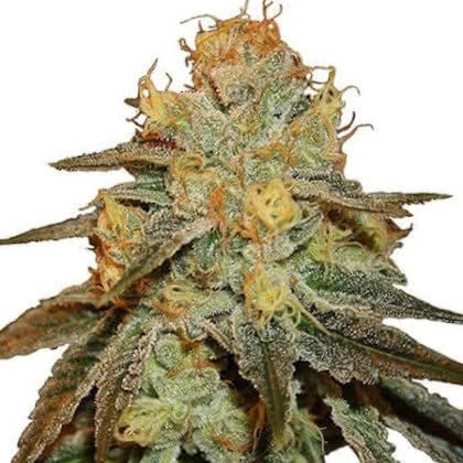 Bruce Banner Feminized Seeds for sale from IGLM