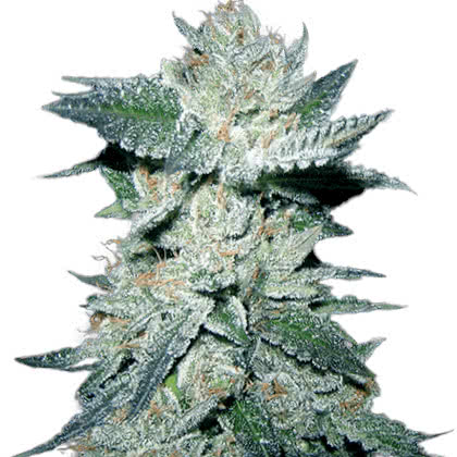 Bubba Kush Feminized Seeds for sale from Crop King