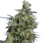 Bubba Kush Feminized Seeds for sale USA
