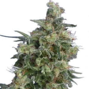 Bubba Kush Feminized Seeds for sale from IGLM