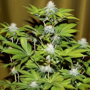 Bubba Kush Feminized Seeds for sale from Seedsman