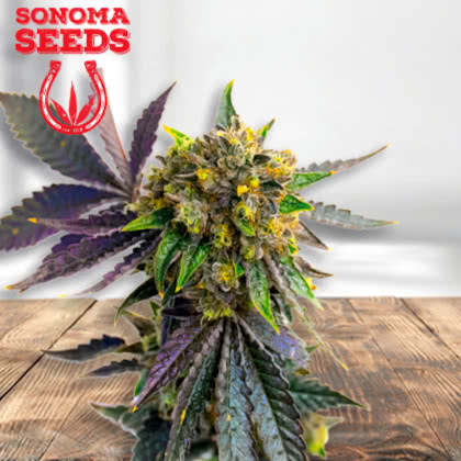 Bubba Kush Feminized Seeds for sale from Sonoma