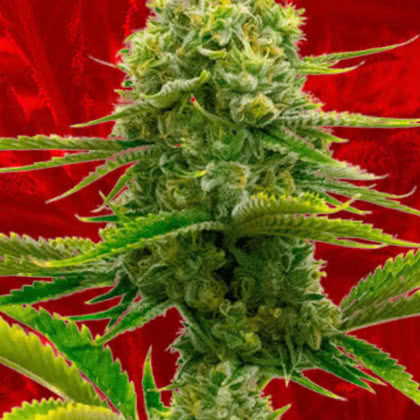 Bubble Gum Feminized Seeds for sale from Crop King
