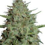 California Dream Feminized Seeds for sale USA