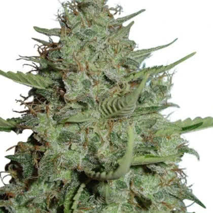 California Dream Feminized Seeds for sale from IGLM