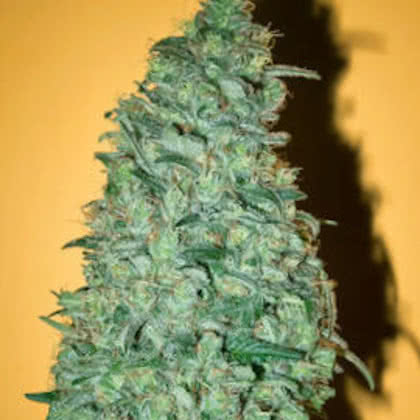 California Dream Feminized Seeds for sale from Seedsman by Mandala Seeds