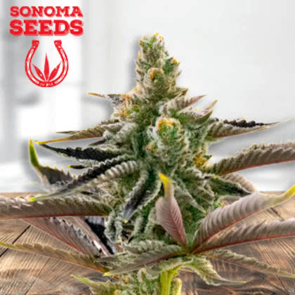 California Dream Feminized Seeds for sale from Sonoma