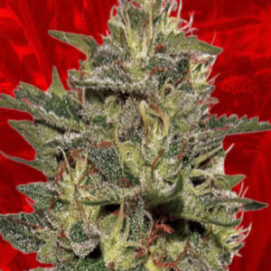Cheese Feminized Seeds for sale from Crop King