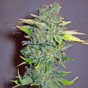 Cheese Feminized Seeds for sale from Seedsman