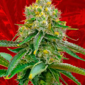 Chemdawg Feminized Seeds for sale from Crop King