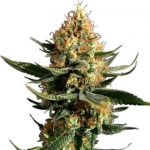 Chemdawg Feminized Seeds for sale USA