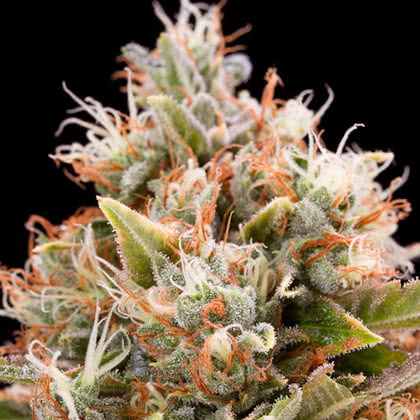 Chemdawg Feminized Seeds for sale from Seedsman by Humboldt Seed Organization
