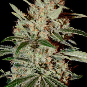 Chemdawg Feminized Seeds for sale from Seedsman by Green House Seed Co.