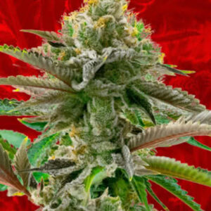 Cherry Pie Feminized Seeds for sale from Crop King