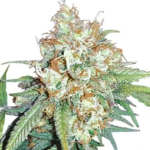 Cherry Pie Feminized Seeds for sale from IGLM