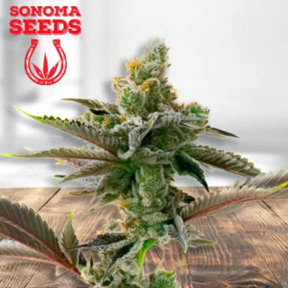Cherry Pie Feminized Seeds for sale from Sonoma
