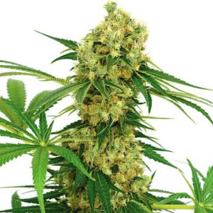 Chocolope Feminized Seeds for sale from IGLM