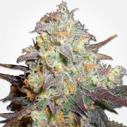 Chocolope Feminized Seeds for sale from MSNL