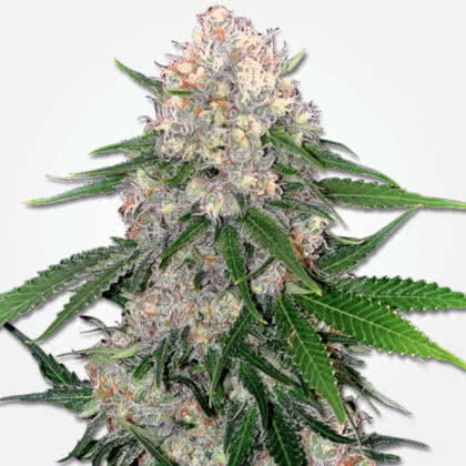 Critical Feminized Seeds for sale from MSNL