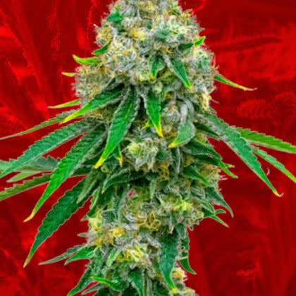 Critical Mass Feminized Seeds for sale from Crop King