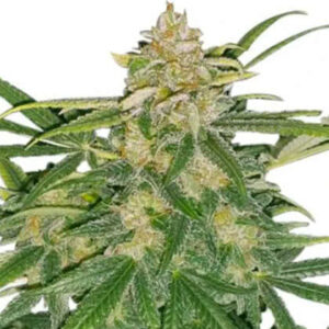 Critical Mass Feminized Seeds for sale from IGLM