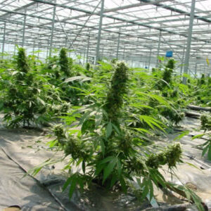 Critical Mass Regular Seeds for sale from Seedsman by Mr Nice Seeds