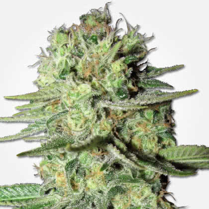 Durban Poison Feminized Seeds for sale from MSNL
