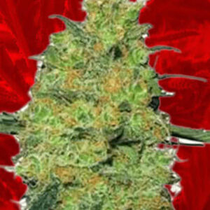 Fire OG Feminized Seeds for sale from Crop King